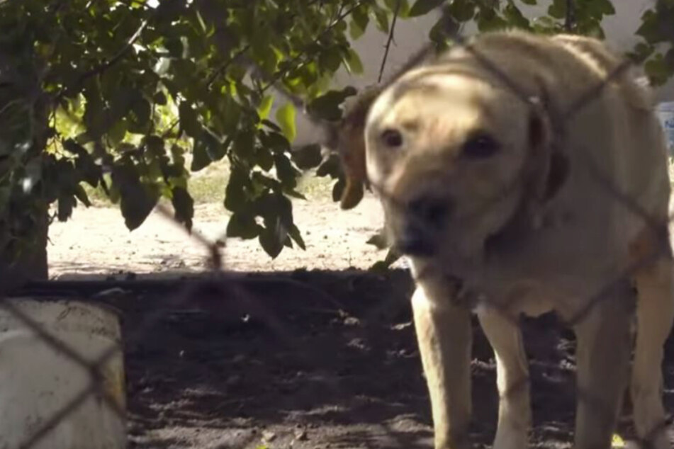 Hund verbringt ganzes Leben in Ketten: Dann treffen seine Retter eine klare Entscheidung