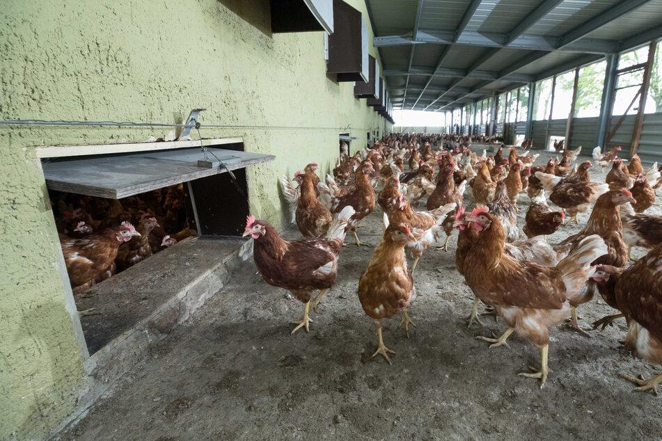 Viele Tausend Hühner verendeten, weil die Lüftung ausgeschaltet wurde (Symbolbild).