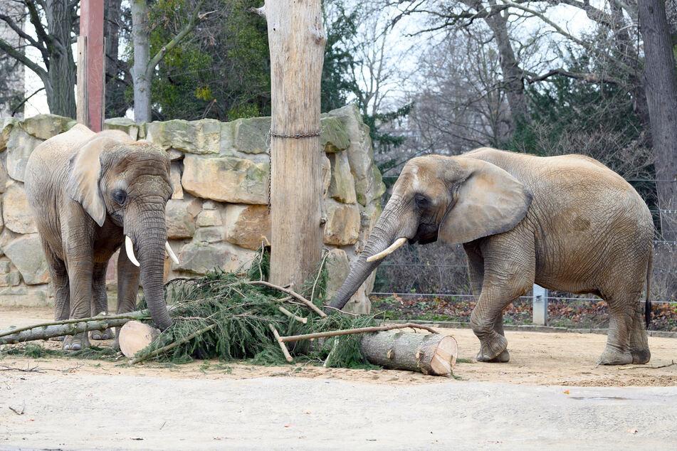 Elefanten stehen im Dresdner Zoo in ihrem Gehege. Ab Dienstag dürfen sie sich endlich wieder auf Besucher freuen!