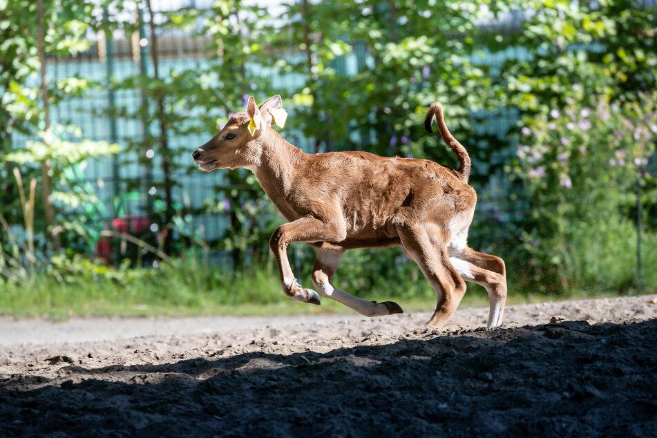 "Banteng-Kälbchen ""Nyoman"" ist Mitte Juni im Kölner Zoo geboren worden."