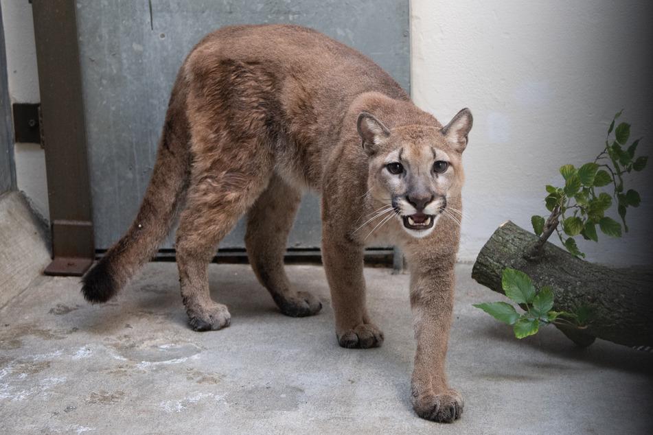 Dieses Foto zeigt den Puma im Bronx Zoo. Das Tier sei nun auf dem Weg in eine Auffangsstation.