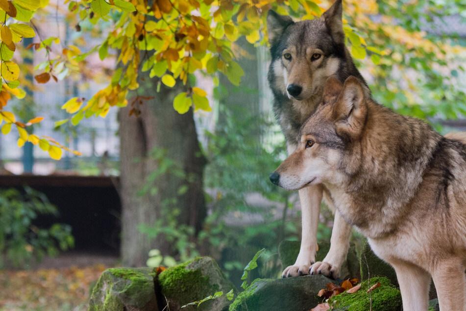 Wölfe: Wölfe in Sachsen vermehren sich weiter: Vier neue Rudel registriert