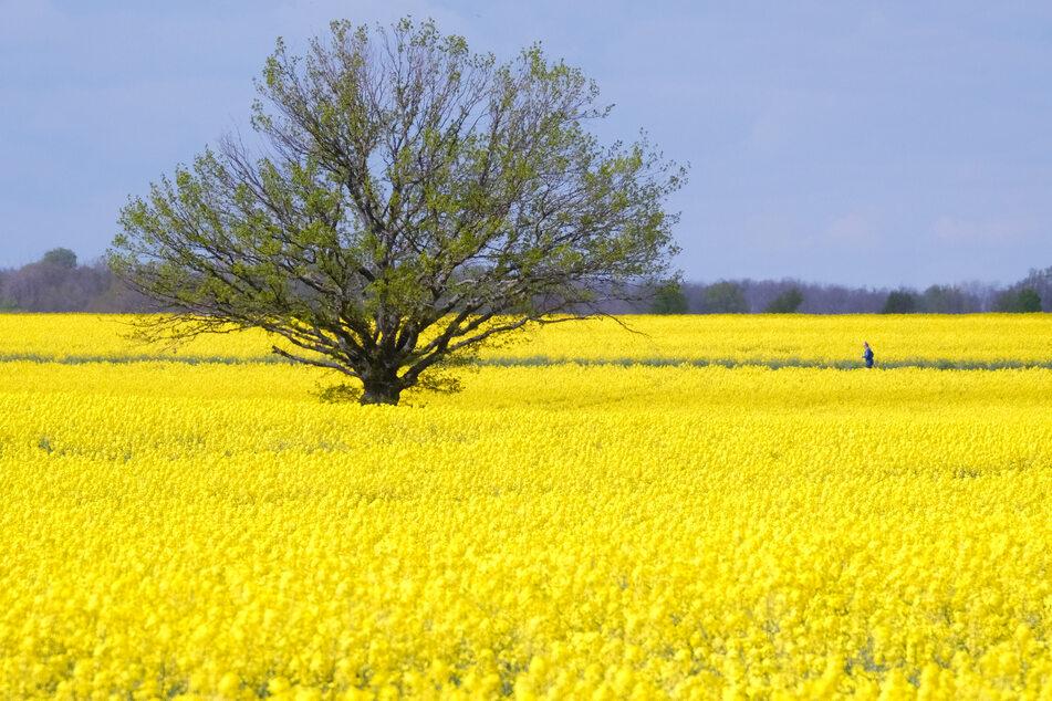 Ein Rapsfeld blüht in Rackwitz nördlich von Leipzig. Am Montag ist es überall noch freundlich und warm.