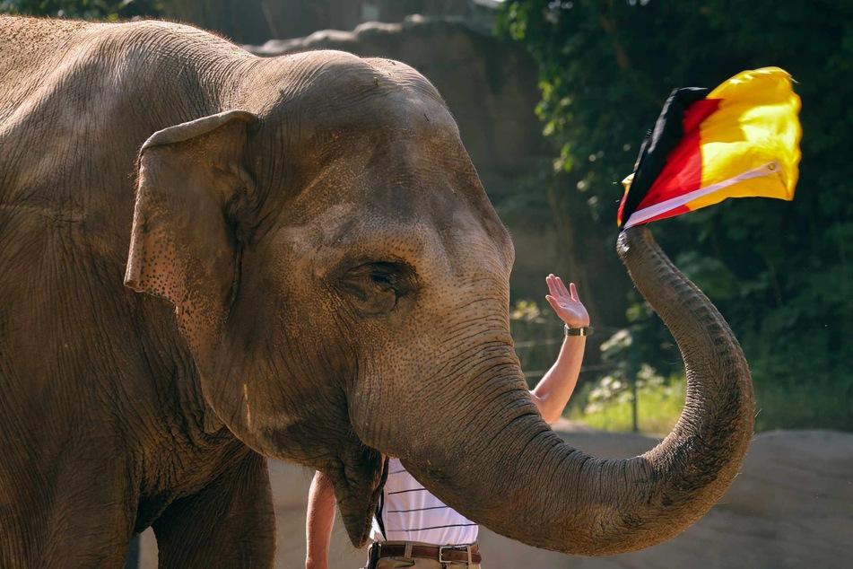 Elefantenkuh Yashoda (42) zog vor dem Spiel gegen Portugal die Deutschland-Fahne aus dem Korb. Und siehe da, die DFB-Elf gewann.
