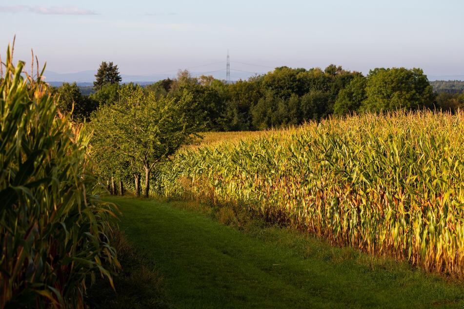 Bauer findet Leiche auf Maisfeld