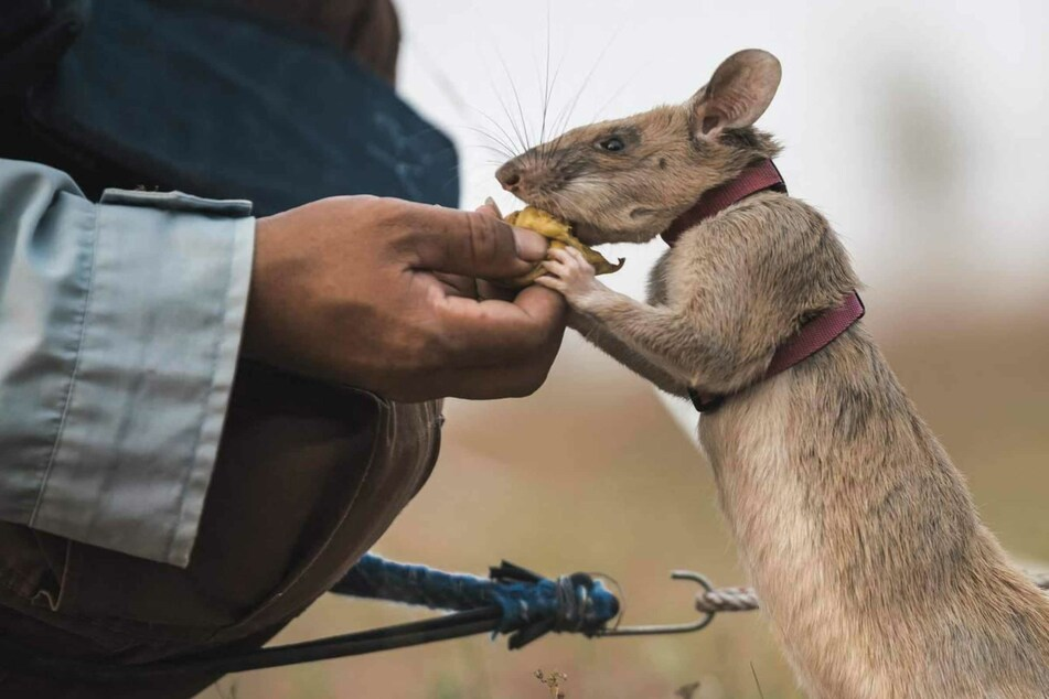 Magawa the giant rat retires after saving countless lives
