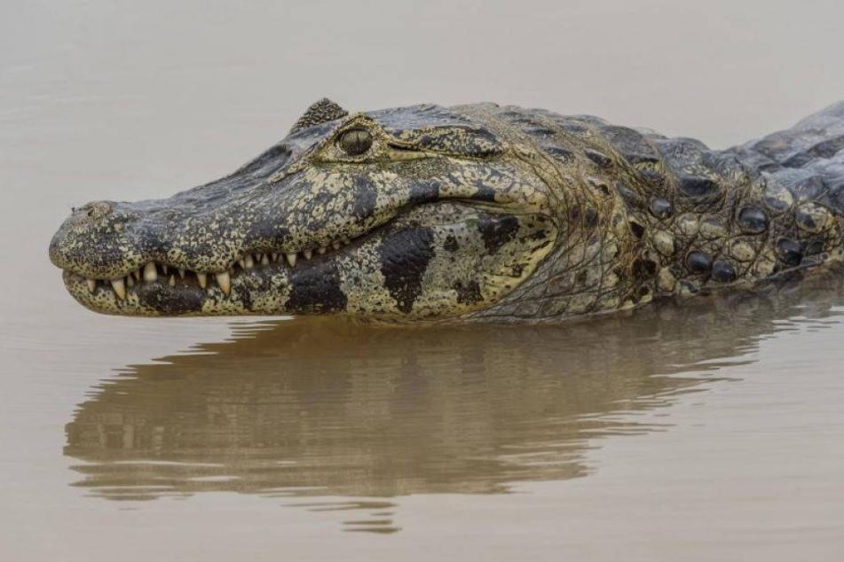 In Disney-Resort: Zweijähriger von Alligator ins Wasser gezerrt