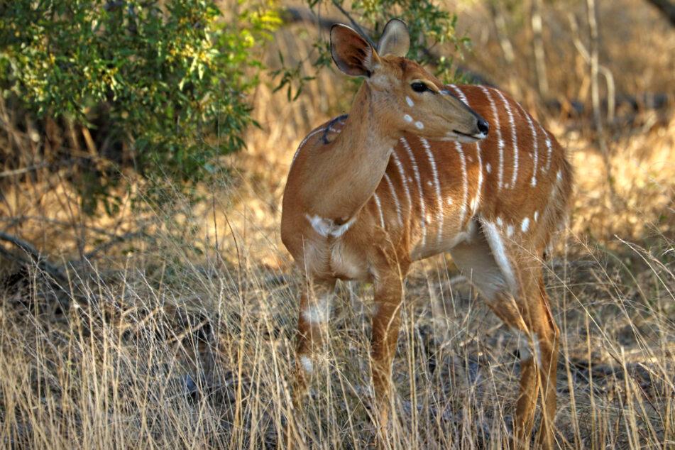 Wildreservaten geht das Geld aus: Etliche Tiere müssen getötet werden
