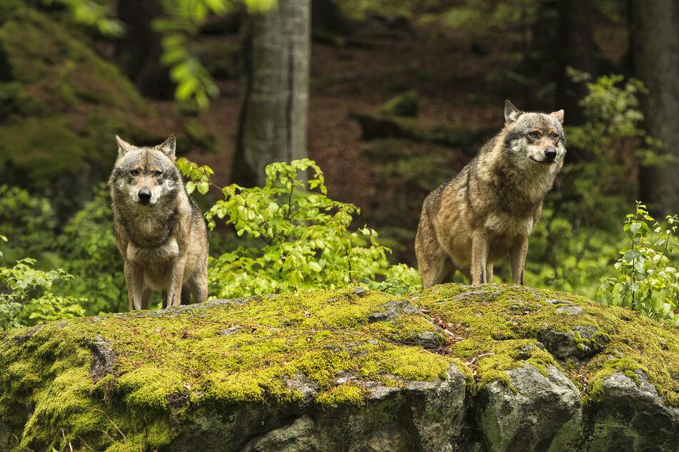 Zwei Wölfe sollen in NRW ihr Unwesen treiben. (Symbolbild)