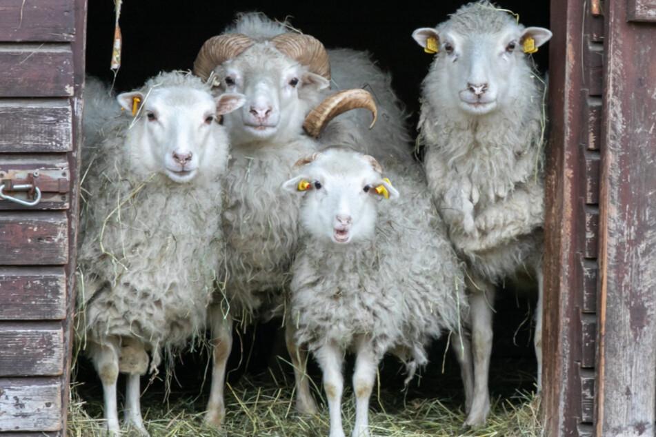 Das Geld für Futter ist fast alle. Vorm Hungertod müssten die Heidschnucken an den Schlachter verkauft werden.