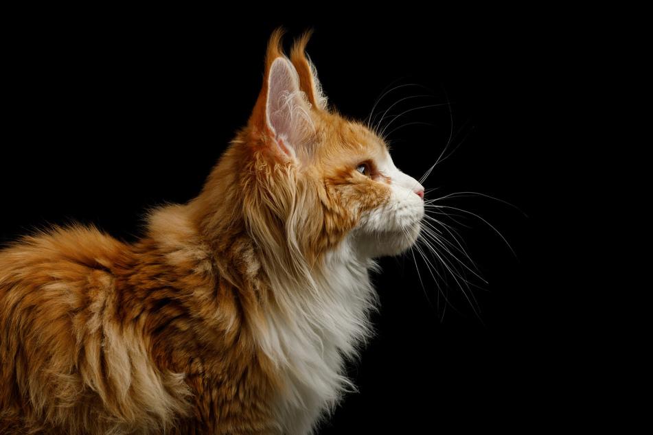 Die Lebenserwartung von Hauskatzen liegt im Durchschnitt bei 16 Jahren. (Symbolbild)