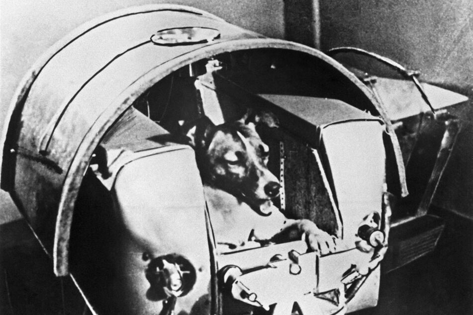Die damals zweijährige Mischlingshündin «Laika» bei Tests in einer der Druckkabinen (undatierte Aufnahme).