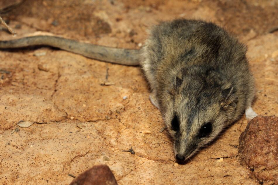 Nach verheerenden Buschbränden: Beinahe ausgestorbene Maus wieder aufgetaucht!