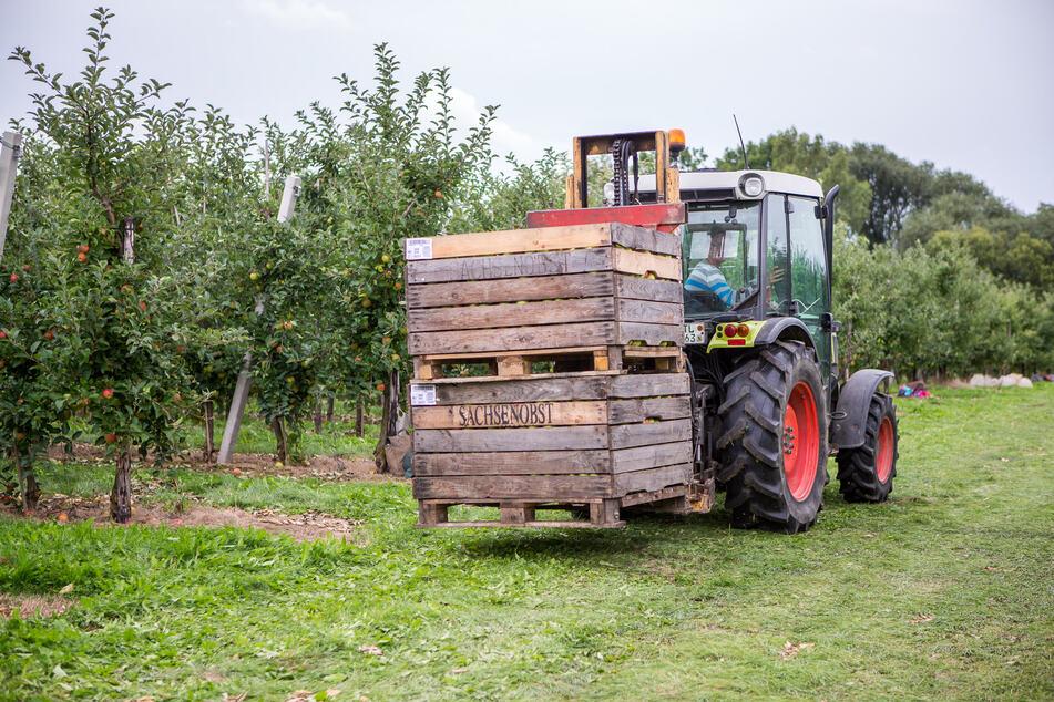 Auch bei Sachsenobst, Sachsens größten Erzeuger, beginnt in den nächsten Wochen die Haupternte.