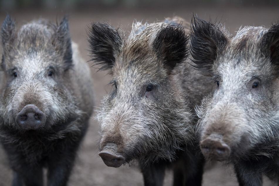 Schweinepest in Brandenburg: Weitere Wildschweine positiv getestet!