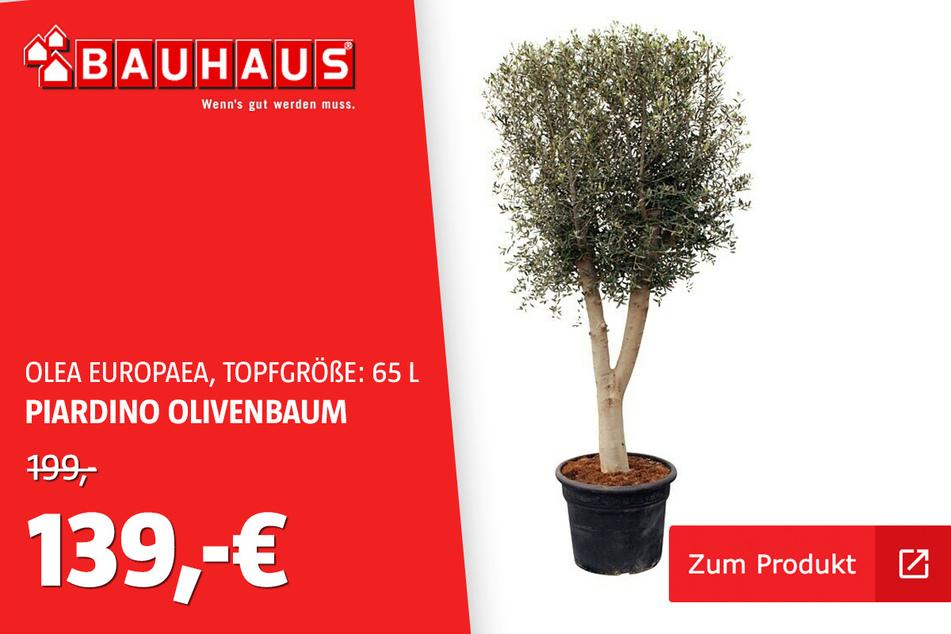 Olivenbaum 65 L für 139 statt 199 Euro
