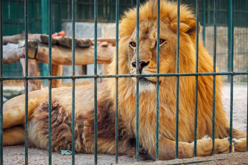The dying lion was offered lamb soup, rabbit, chicken soup, and beef, but could not eat before he succumbed to Covid-19 at the Vandular Zoo (stock image).