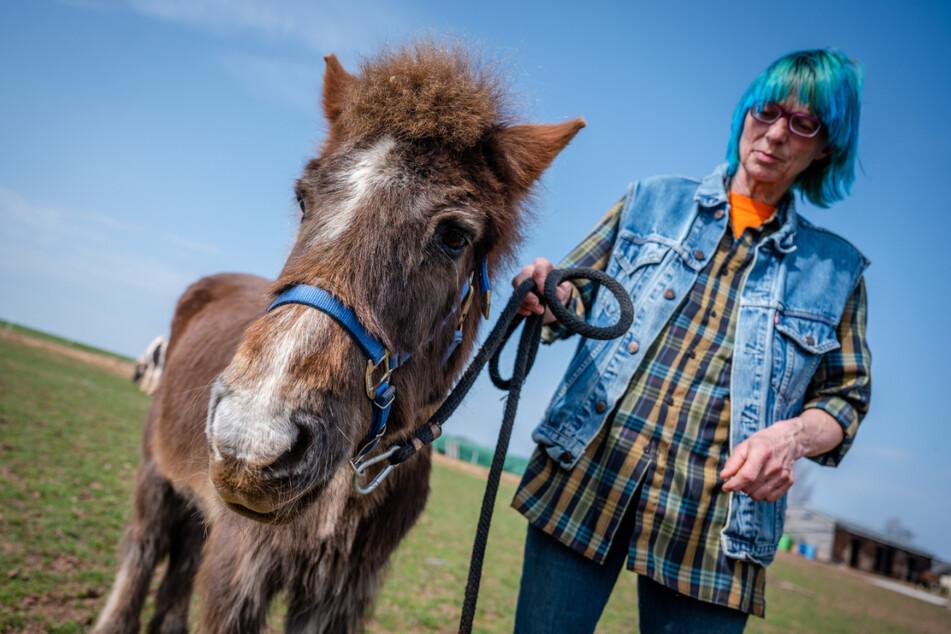 Santino ist Sachsens ältestes Pony: Am Montag wird der Hengst 41 Jahre alt
