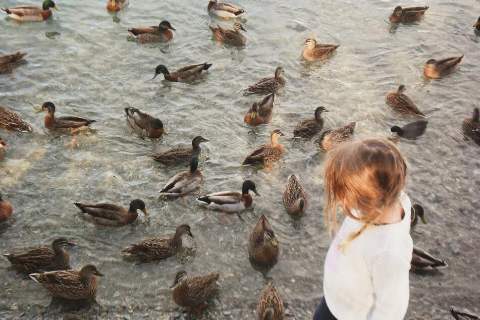 Enten zu füttern, macht die Tiere zutraulich. Das kann Kindern große Freude bereiten, aber bringt die Enten oft in Lebensgefahr.