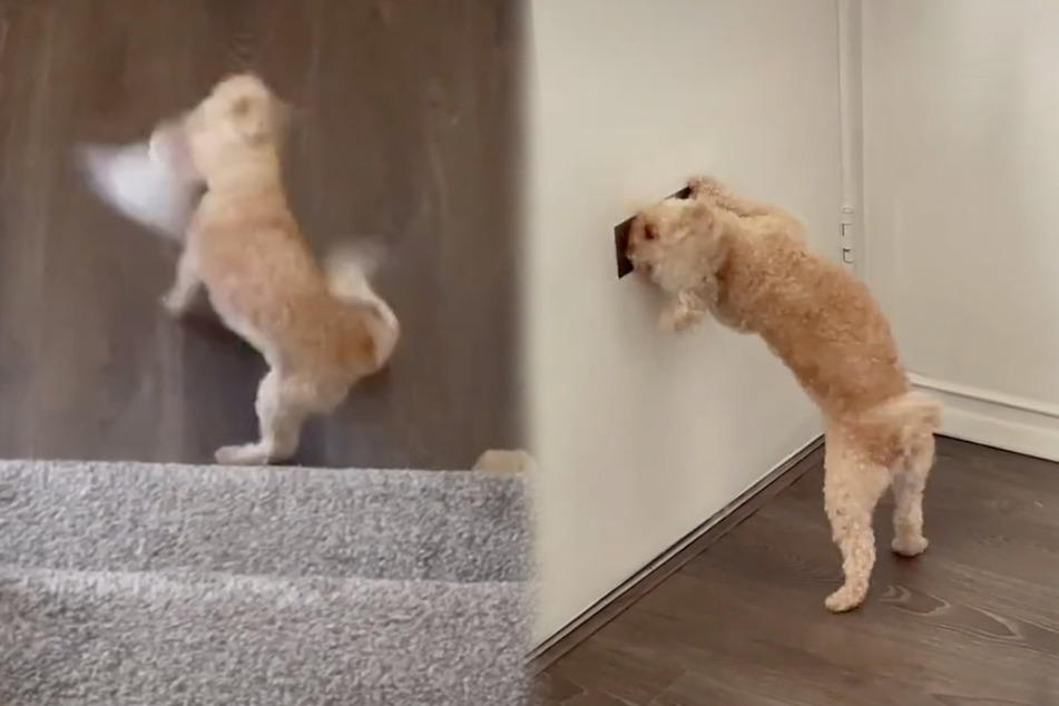 Toy poodle fiercely defends her home from an unwanted intruder: the mail!
