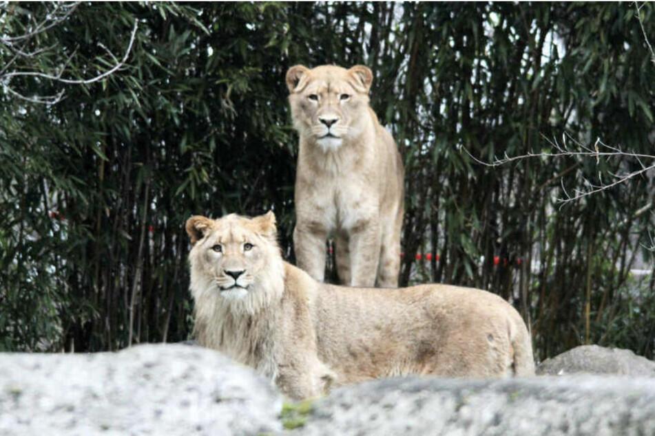 Löwin Kigali (hinten) wurden von ihren überlebenden Jungtieren getrennt.