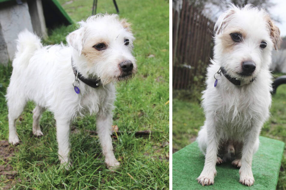 Hund Lino hat eine Kehlkopflähmung: Wer hat ein Herz für den Terrier?
