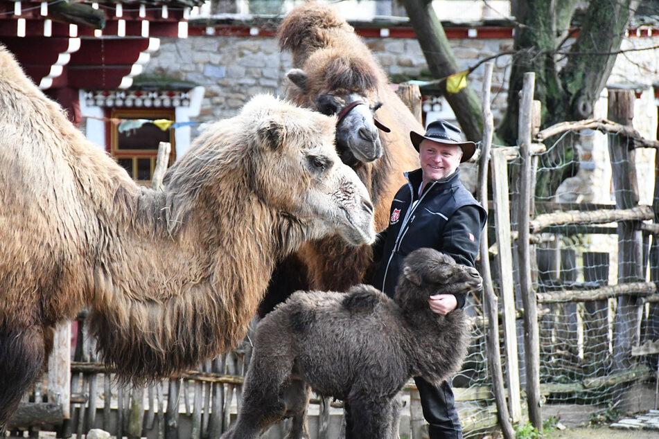 Tierpark-Chef Sven Hammer mit Trampeltier-Mama Shirin und ihrem Nachwuchs Deleg. Gemeinsam mit den Pflegern betreut er die Tiere.
