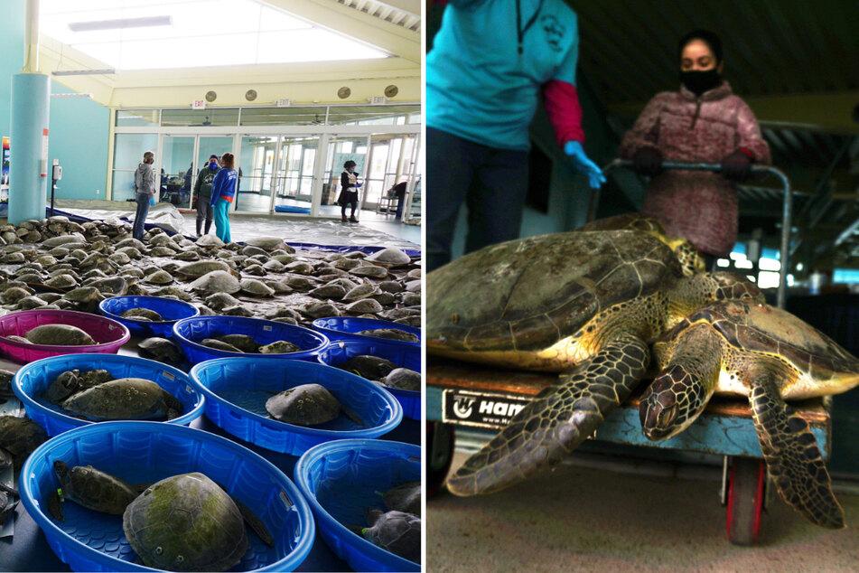 Tausende Schildkröten von Kältestarre bedroht: Tierhelfer starten große Rettungsaktion