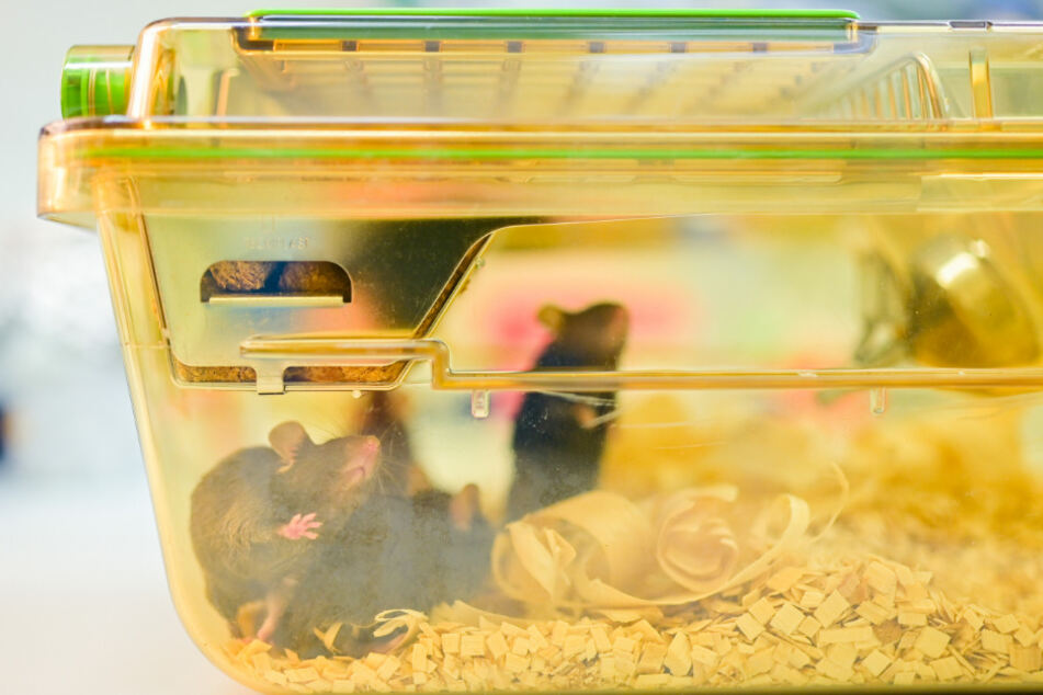 Dutzende Mäuse und Ratten konnten gerettet werden. (Symbolbild)