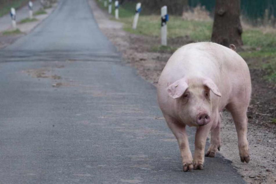 Das Schwein ging die Straße entlang.