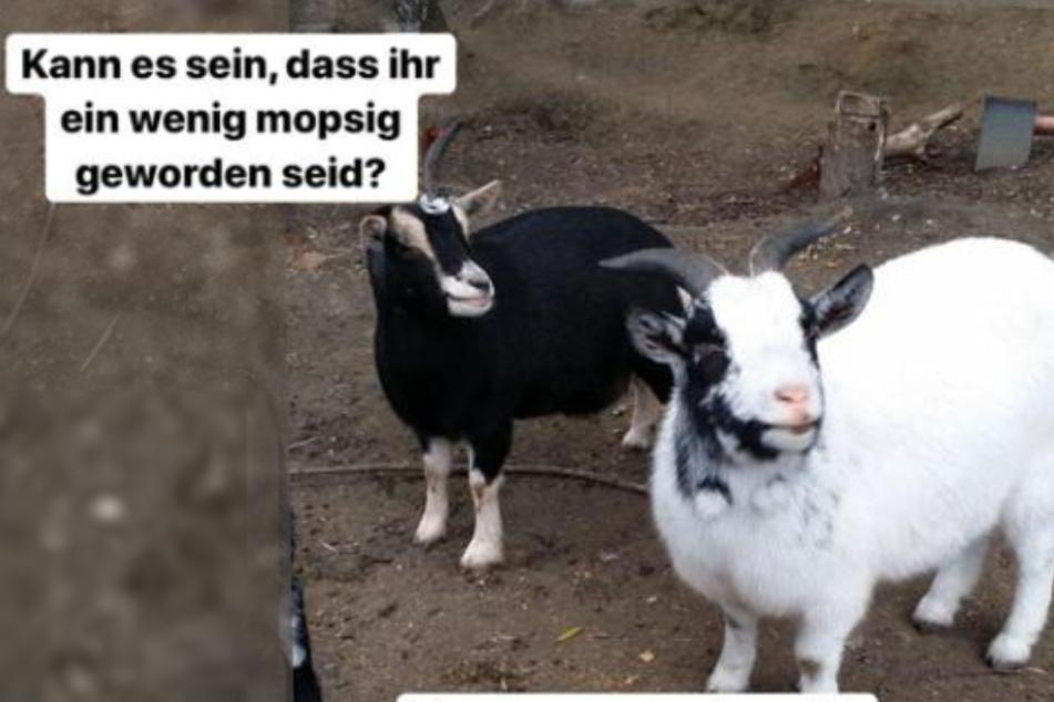 """""""Etwas zugelegt"""": Pummel-Alarm bei den Ziegen im Tierheim Bergheim!"""