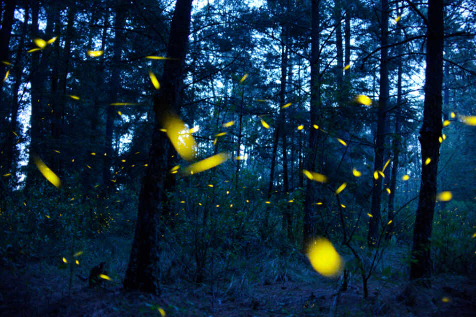 Glühwürmchen in Mexiko: Zur Paarungszeit sind die leuchtende Tiere in großer Zahl zu entdecken.
