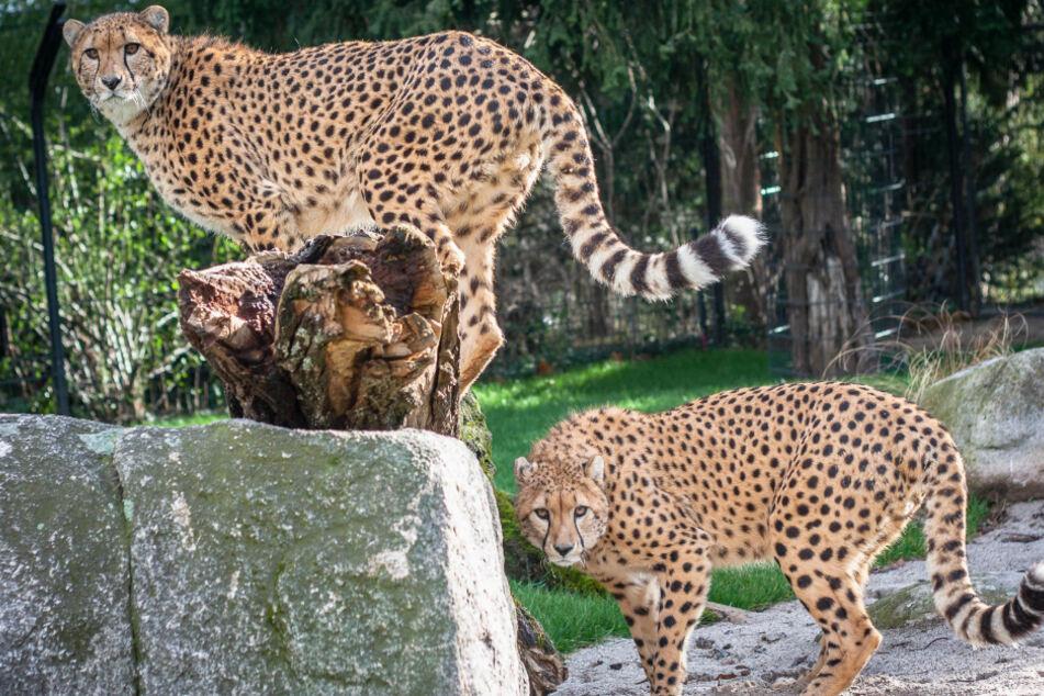 Geparden in der Wilhelma beobachten? Erstmal nicht mehr.