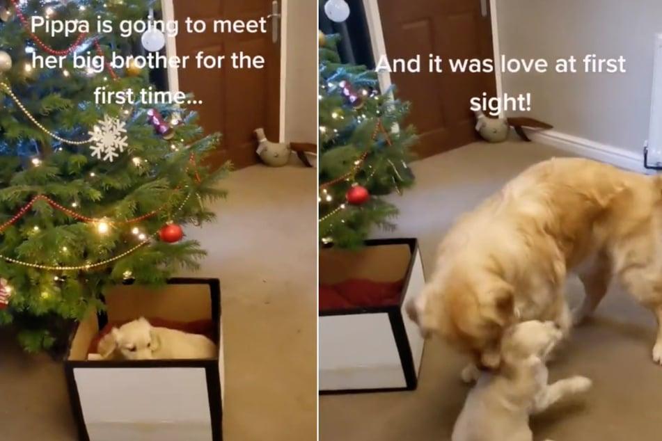 Golden Retriever Wallace got a very special present for Christmas: a puppy!