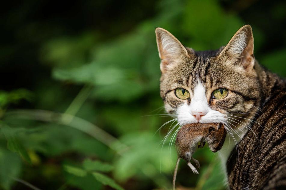 Kein Katzenhalter wollte akzeptieren, dass seine Katze die tote Maus vor die Haustür gelegt haben könnte. (Symbolbild)