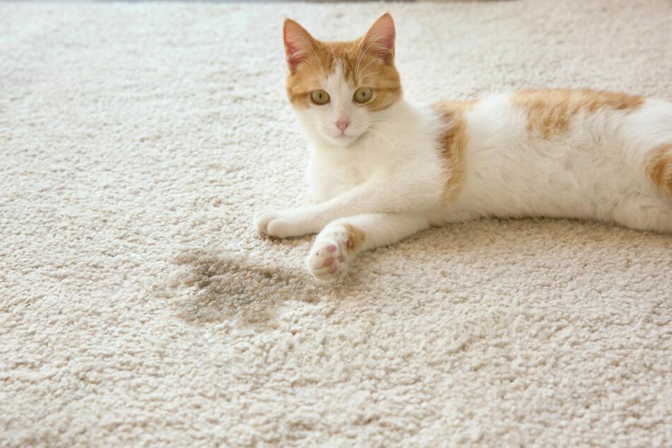 Katzenurin in der Wohnung sollte man schnell entfernen. Zum Auffinden von Urinspuren kann ein UV-Licht zum Einsatz kommen.
