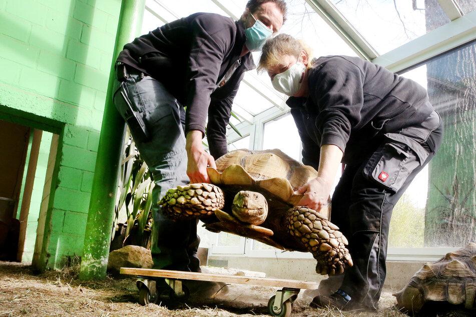 Schulterkranke 100-Kilo-Schildkröte soll nun eine Gehhilfe bekommen