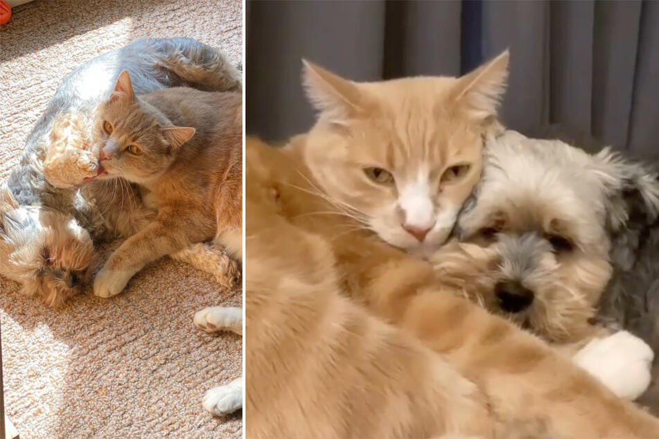 Getting along like cats and dogs: these two fluffy friends are melting TikTok users' hearts!