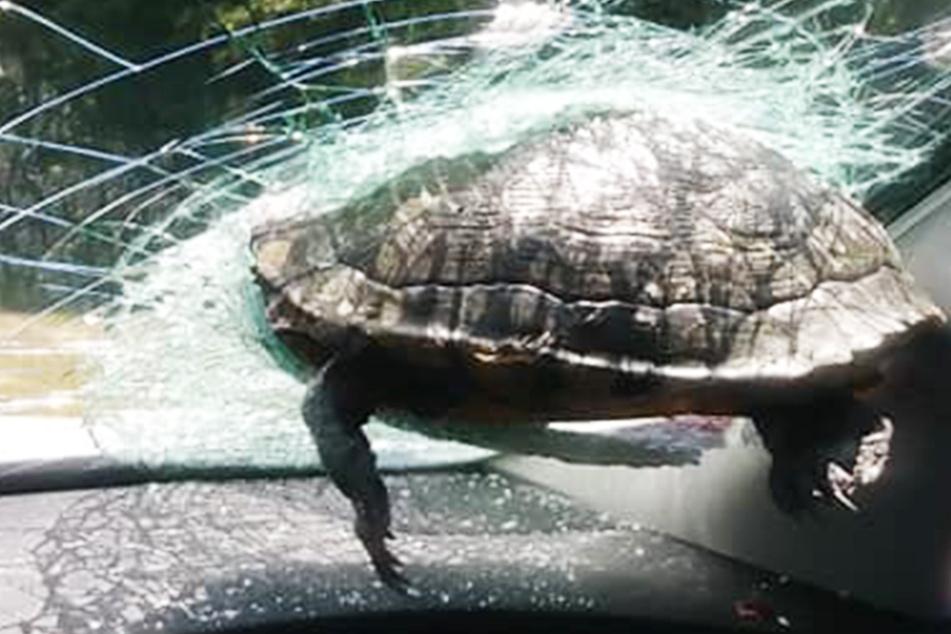 Wie konnte das passieren? Schildkröte knallt in Windschutzscheibe