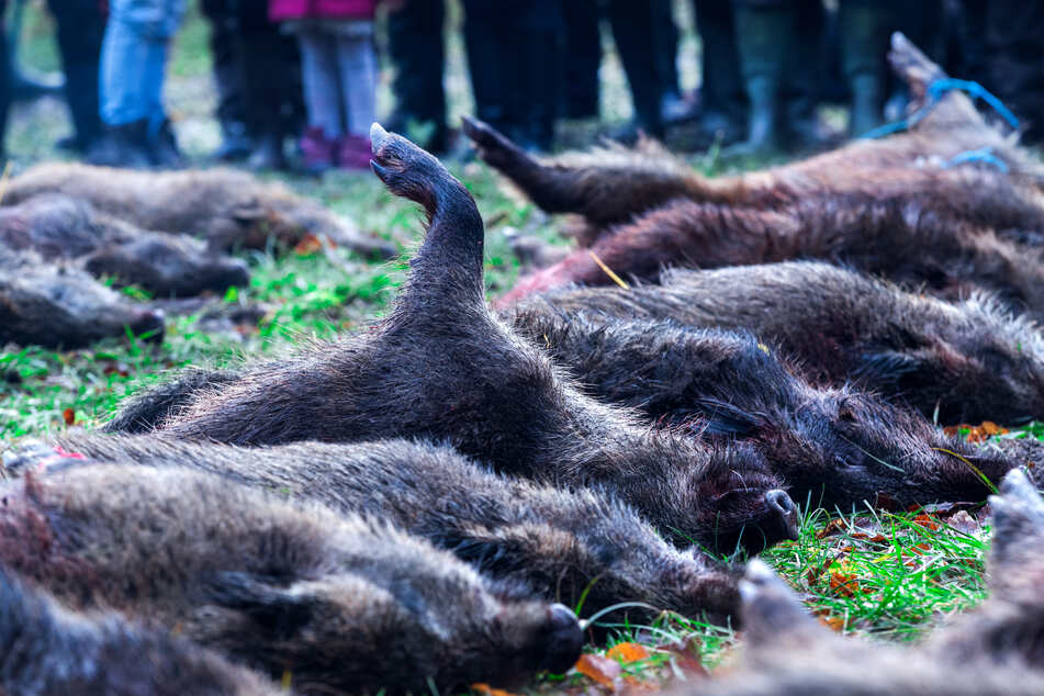 Seuche rückt immer näher: NRW-Jäger nehmen Wildschweine ins Visier