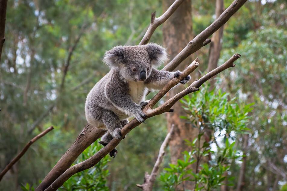 A koala on a tree (stock image).