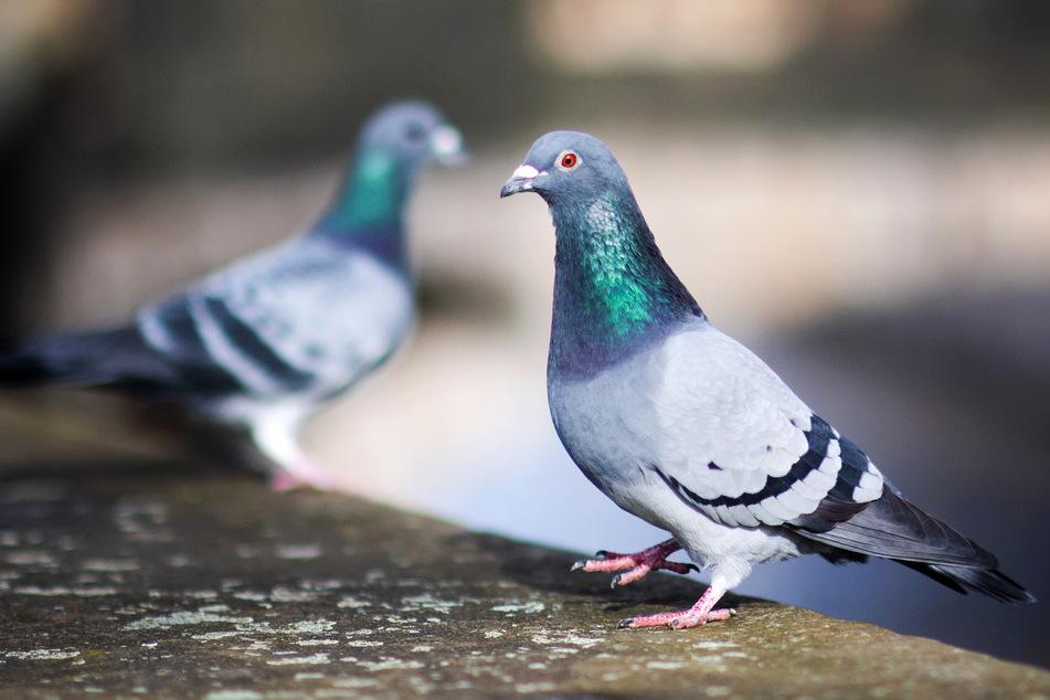 Zwei Tauben sitzen auf einer Mauer.