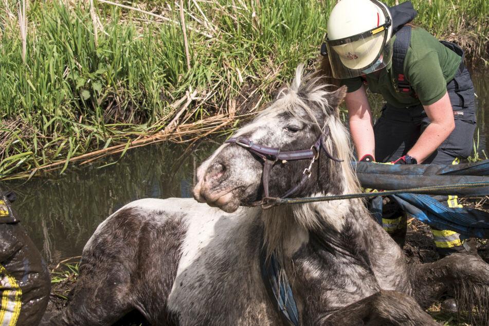 Pferd hilflos im Bachlauf gefangen, Feuerwehr im Großeinsatz!