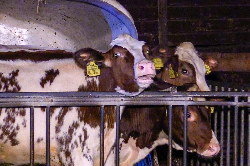 Ein Großteil der Rinderherde konnte in der Nacht zum Montag aber aus dem brennenden Stall gerettet werden.