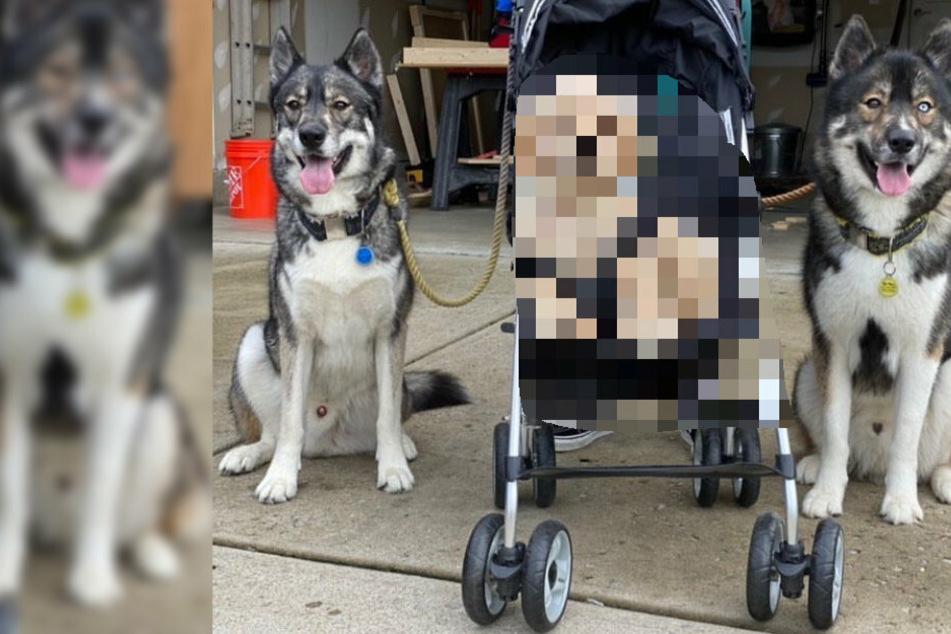 Wie süß! Diese beiden sibirischen Huskys bewachen nicht das, was Ihr denkt