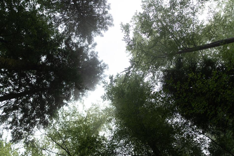 Bäume stehen im Nationalpark Schwarzwald.