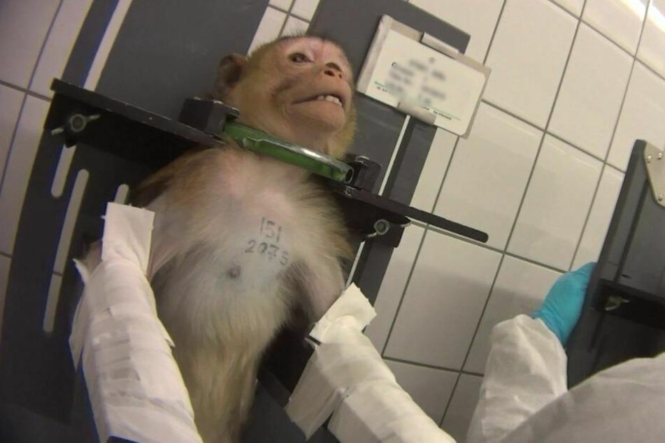 Sind Tierversuche für Corona-Impfstoff unverzichtbar?