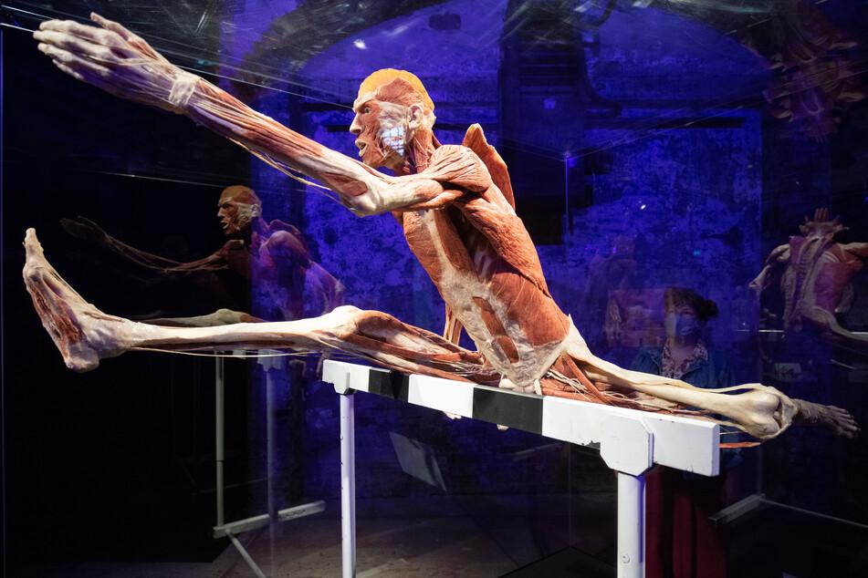 """Das Plastinat """"Der Hürdenläufer"""" ist in der Ausstellung """"Körperwelten"""" zu sehen."""