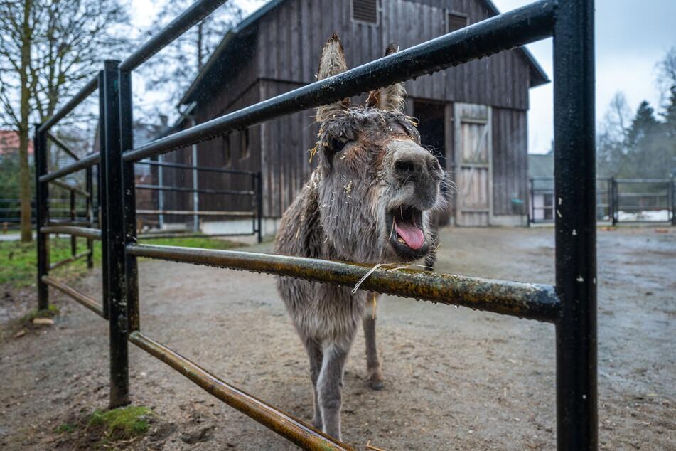 """""""Solche Esel"""", denkt sich dieses Tier am Tierpark - und meint die Besucher, die seine Artgenossen mit falschem Futter fett füttern."""
