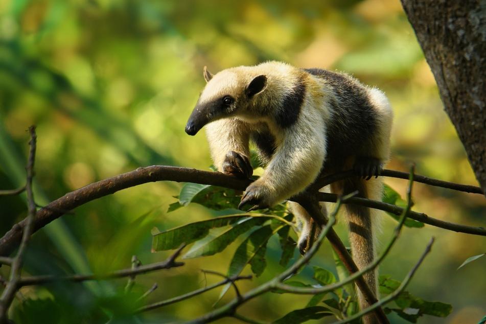 Ein ausgewachsener Tamandua klettert in freier Wildbahn über einen Ast.